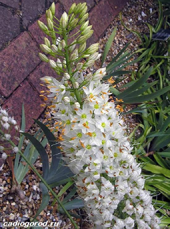 Эремурус-цветок-Выращивание-эремуруса-Уход-за-эремурусом-3