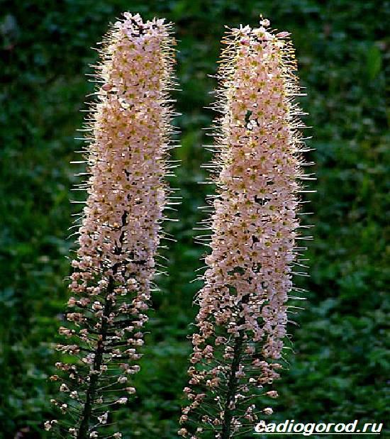 Эремурус-цветок-Выращивание-эремуруса-Уход-за-эремурусом-4