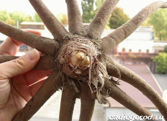 Эремурус-цветок-Выращивание-эремуруса-Уход-за-эремурусом-7