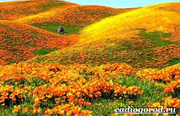 Эшшольция-цветы-Выращивание-эшшольции-Посадка-и-уход-за-эшшольцией-12