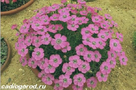 Флоксы-цветы-Выращивание-флоксов-Уход-за-флоксами-1