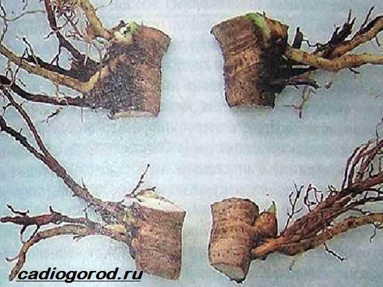 Флоксы-цветы-Выращивание-флоксов-Уход-за-флоксами-8