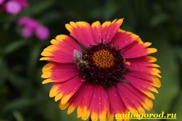 Гайлардия-цветок-Описание-особенности-виды-и-уход-за-гайлардией-1