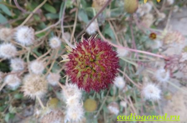 Гайлардия-цветок-Описание-особенности-виды-и-уход-за-гайлардией-18