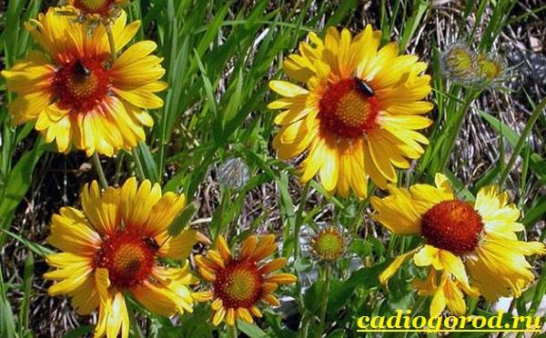 Гайлардия-цветок-Описание-особенности-виды-и-уход-за-гайлардией-6