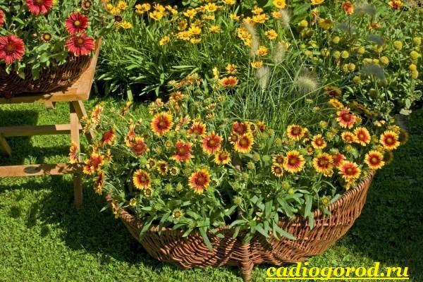Гайлардия-цветок-Описание-особенности-виды-и-уход-за-гайлардией-9