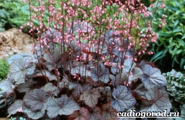 Гейхера-растение-Выращивание-гейхеры-Уход-за-гейхерой-12