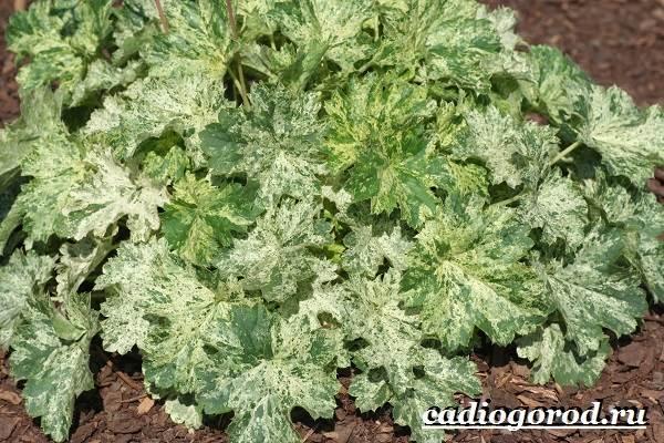 Гейхера-растение-Выращивание-гейхеры-Уход-за-гейхерой-16