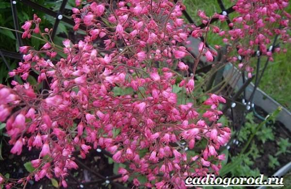 Гейхера-растение-Выращивание-гейхеры-Уход-за-гейхерой-5-1