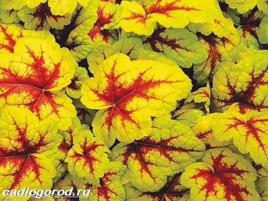 Гейхера-растение-Выращивание-гейхеры-Уход-за-гейхерой-5