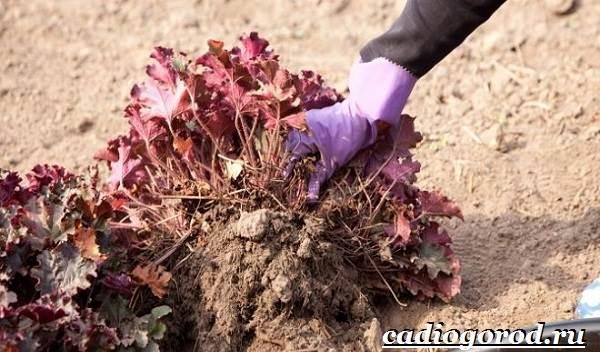 Гейхера-растение-Выращивание-гейхеры-Уход-за-гейхерой-6