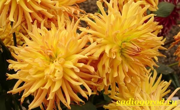 Георгины-цветы-Описание-особенности-виды-цена-и-уход-георгинами-18