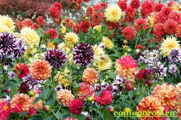 Георгины-цветы-Описание-особенности-виды-цена-и-уход-георгинами-19