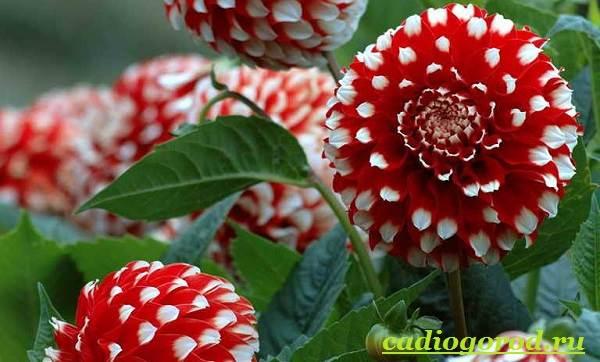 Георгины-цветы-Описание-особенности-виды-цена-и-уход-георгинами-22