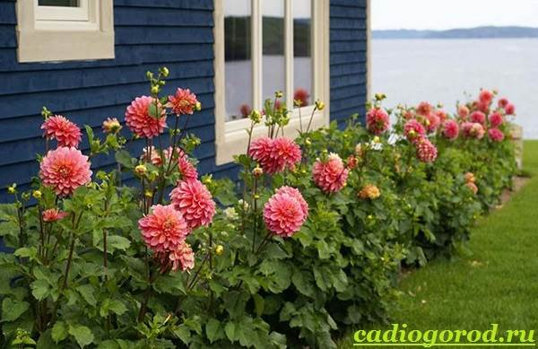 Георгины-цветы-Описание-особенности-виды-цена-и-уход-георгинами-29