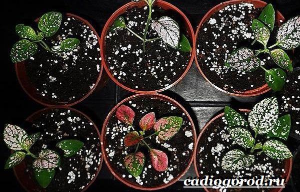 Гипоэстес цветок. Описание, особенности, виды и уход за гипоэстес-4