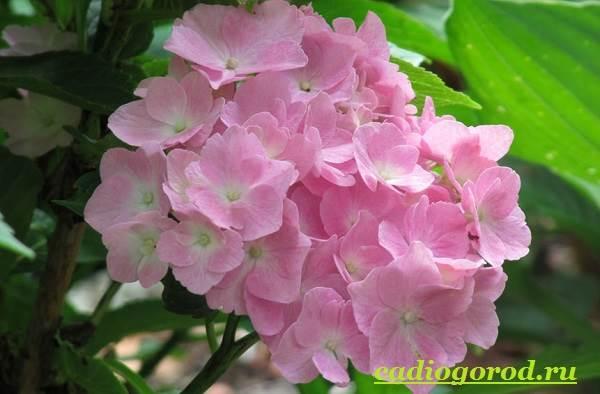 Гортензия-цветок-Выращивание-гортензии-Уход-за-гортензией-16