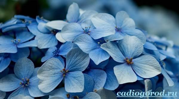 Гортензия-цветок-Выращивание-гортензии-Уход-за-гортензией-19