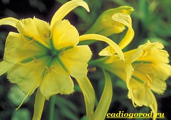 Исмена-цветок-Описание-особенности-виды-и-уход-за-исменой-12