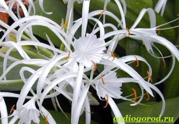 Исмена-цветок-Описание-особенности-виды-и-уход-за-исменой-4