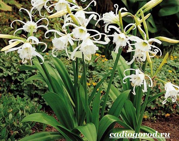 Исмена-цветок-Описание-особенности-виды-и-уход-за-исменой-9