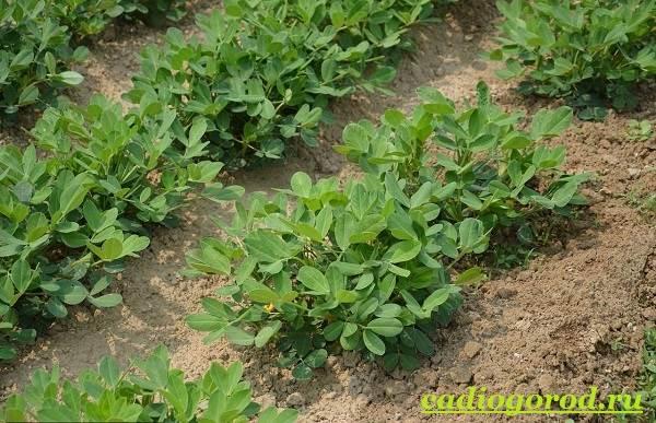Как-вырастить-арахис-Посадка-арахиса-Уход-за-арахисом-14