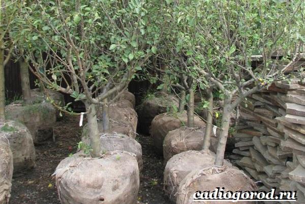 Как-вырастить-яблоню-10