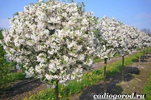 Как-вырастить-яблоню-9