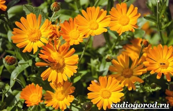Календула-цветок-Описание-свойства-виды-и-уход-за-календулой-23