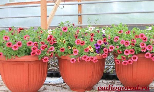 Калибрахоа-цветок-Описание-особенности-виды-и-уход-за-калибрахоа-10