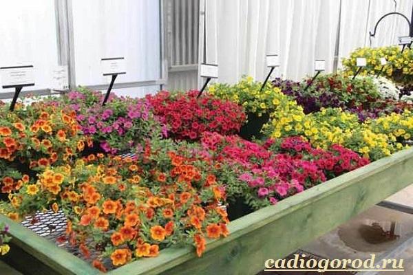 Калибрахоа-цветок-Описание-особенности-виды-и-уход-за-калибрахоа-11
