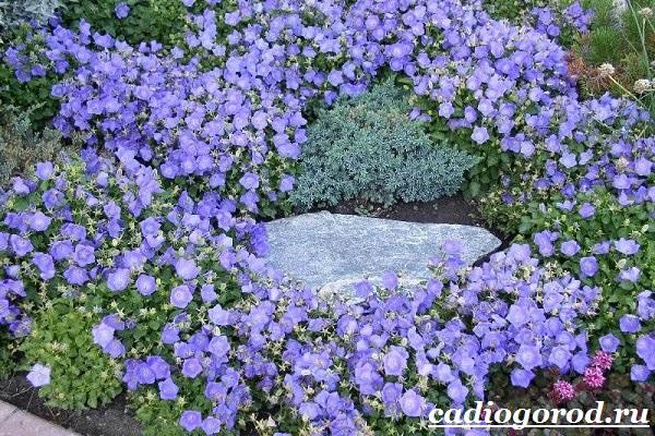 Кампанула-цветок-Описание-особенности-виды-и-уход-за-кампанулой-1