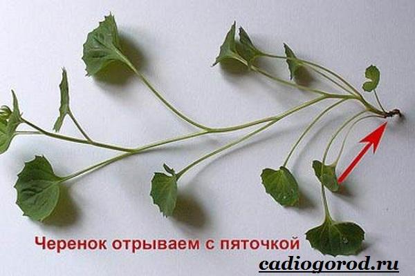 Кампанула-цветок-Описание-особенности-виды-и-уход-за-кампанулой-11