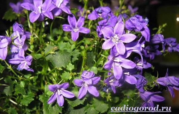Кампанула-цветок-Описание-особенности-виды-и-уход-за-кампанулой-3