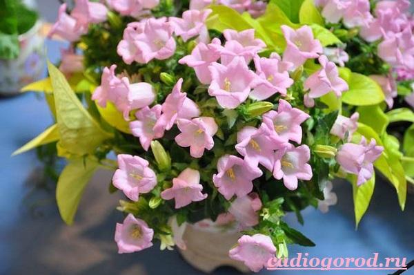 Кампанула-цветок-Описание-особенности-виды-и-уход-за-кампанулой-5
