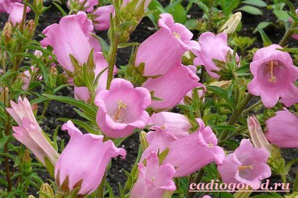 Колокольчики-цветы-Описание-виды-и-выращивание-колокольчиков-14