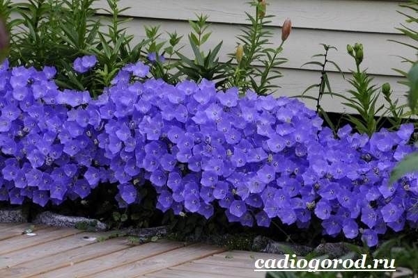 Колокольчики-цветы-Описание-виды-и-выращивание-колокольчиков-6