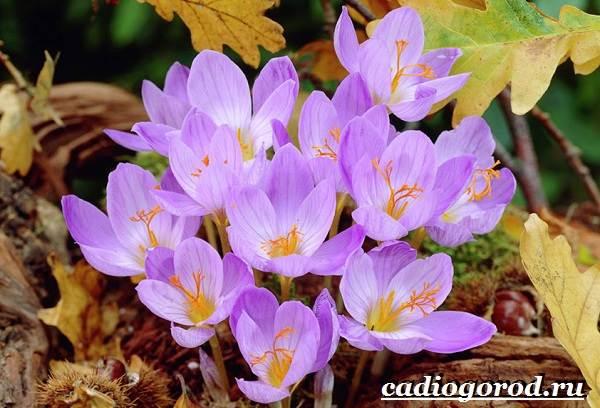 Крокус-цветок-Выращивание-крокуса-Уход-за-крокусом-13