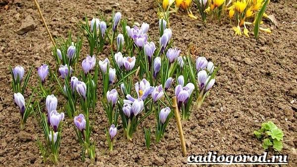 Крокус-цветок-Выращивание-крокуса-Уход-за-крокусом-5-1