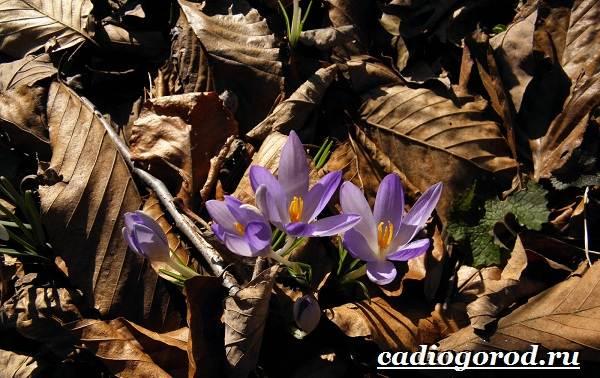Крокус-цветок-Выращивание-крокуса-Уход-за-крокусом-8-2