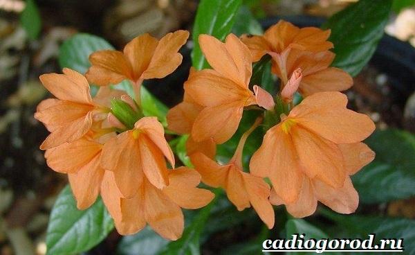 Кроссандра-цветок-Выращивание-кроссандры-Уход-за-кроссандрой-23