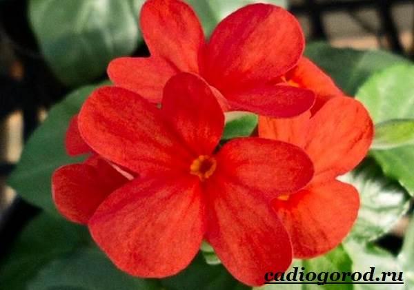 Кроссандра-цветок-Выращивание-кроссандры-Уход-за-кроссандрой-4