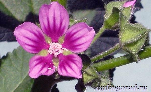 Лаватера-цветы-Описание-особенности-виды-и-уход-за-лаватерой-1