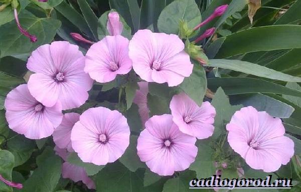 Лаватера-цветы-Описание-особенности-виды-и-уход-за-лаватерой-17