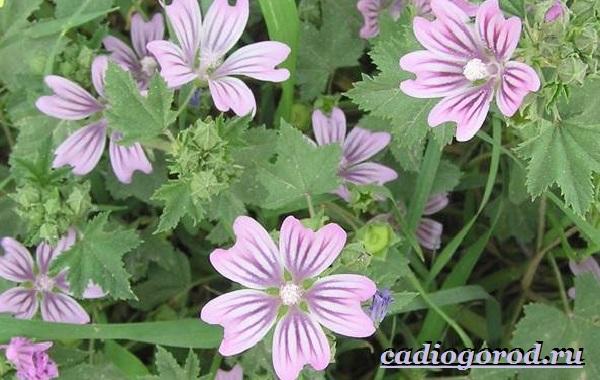 Лаватера-цветы-Описание-особенности-виды-и-уход-за-лаватерой-2