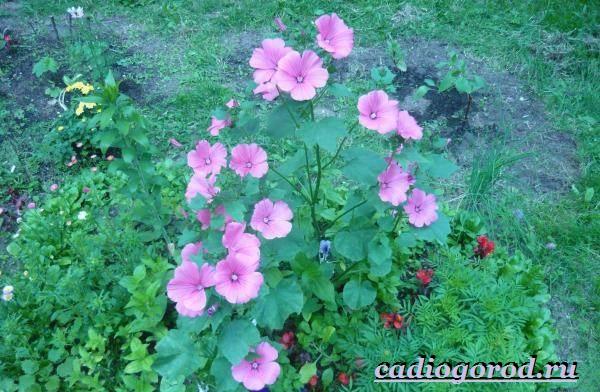 Лаватера-цветы-Описание-особенности-виды-и-уход-за-лаватерой-22