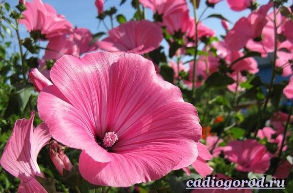 Лаватера-цветы-Описание-особенности-виды-и-уход-за-лаватерой-8