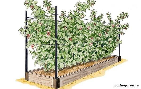 Малина-ягода-Выращивание-малины-Уход-за-малиной-32