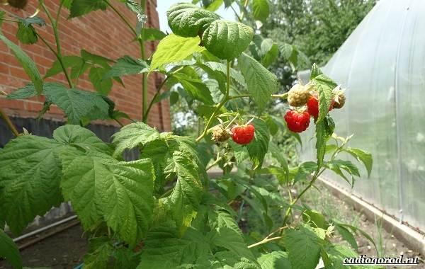 Малина-ягода-Выращивание-малины-Уход-за-малиной-41
