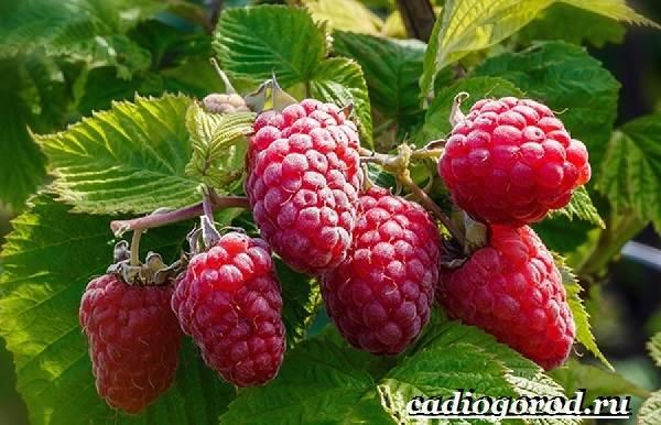 Малина-ягода-Выращивание-малины-Уход-за-малиной